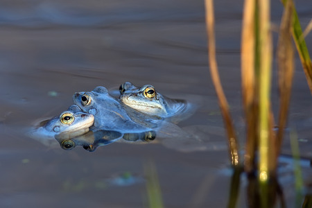 animals amphibious: Moor frogs on the lake in the wild Stock Photo