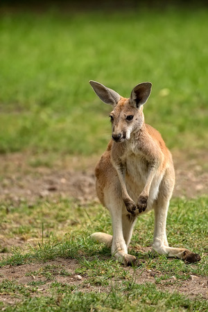 clearing: Kangaroo in the clearing