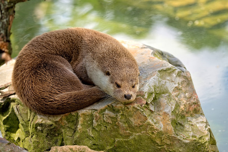 weasel: Weasel resting on a stone in the wild
