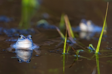 Moor frog on the lake in the wild Stock Photo