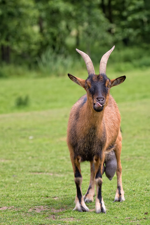 hircus: Goat in a clearing
