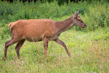 rutting: Red deer on the run in the wild Stock Photo