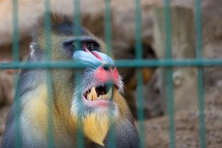 mandrill: Mandrill monkey in captivity, a portrait
