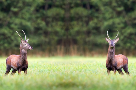 rutting: Red deers in a clearing in the wild Stock Photo