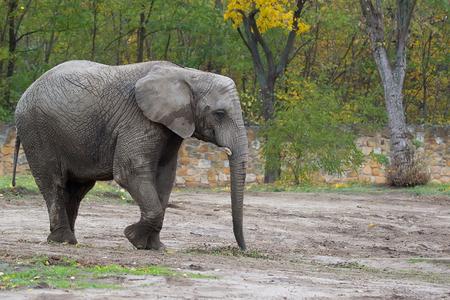 Elephant in the wild
