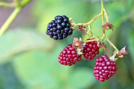 bramble: Blackberries in the garden