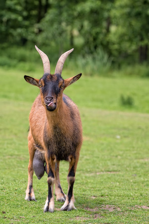 hircus: Goat in a clearing in the wild