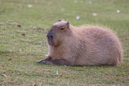 Capybara resting in a clearing in the wild Zdjęcie Seryjne