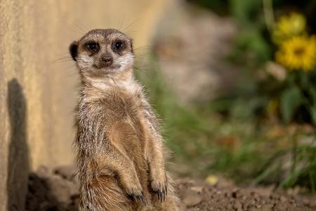 vigilance: Meerkat in the wild, a portrait