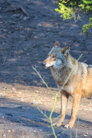 Wolf in the forest, a portrait Stock Photo