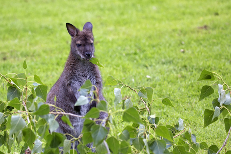 Kangaroo red-necked wallaby in the wild
