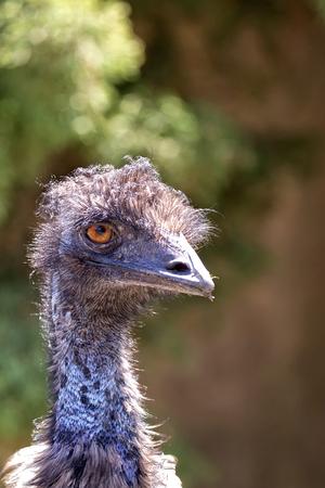 Ostrich in the wild, a portrait