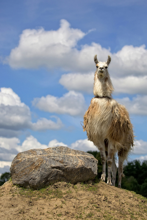 Lama in the wild on the hill