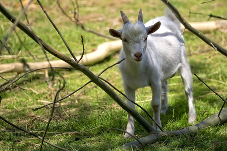 White goat in a clearing