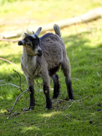 hircus: Young goat in a clearing