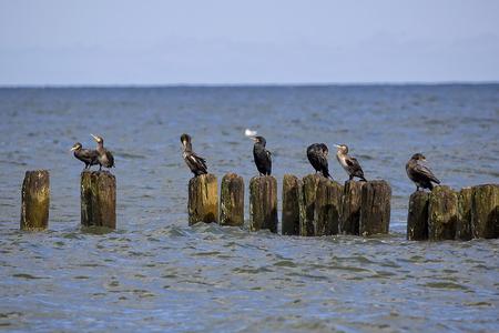 Black cormorants by the sea Stock Photo