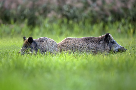 Wild boars in the grass, in the wild Imagens