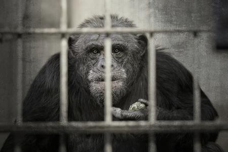 Chimpanzee in a captivity Stock Photo