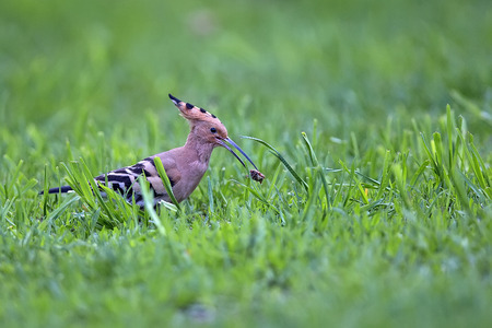 Hoopoe in the wild with a worm