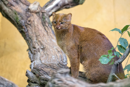 Jaguarundi on the wood Reklamní fotografie