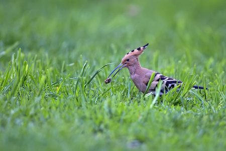 Hoopoe in the wild