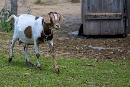 Goat on the farm Stock Photo