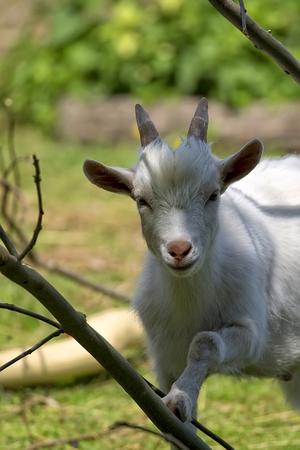 White goat, a portrait Zdjęcie Seryjne