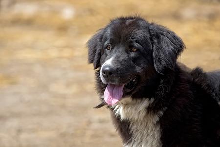 Black dog, a portrait