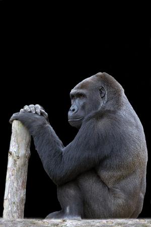 Gorilla on a black background Zdjęcie Seryjne