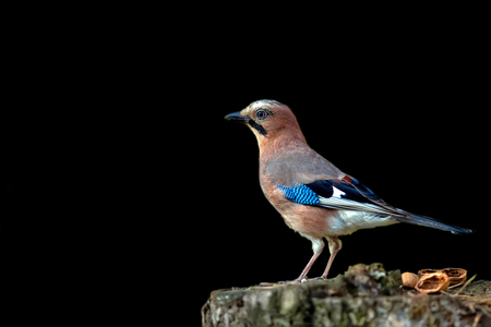 Jay on a black background, on a wood