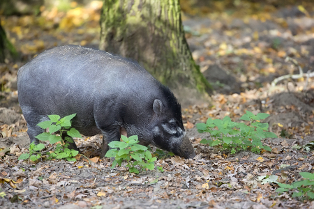 Visayan Warty Pig in the forest Stock Photo