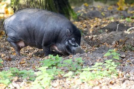Visayan Warty Pig in the forest Zdjęcie Seryjne