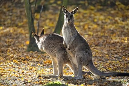 Eastern Grey Kangaroo in a clearing