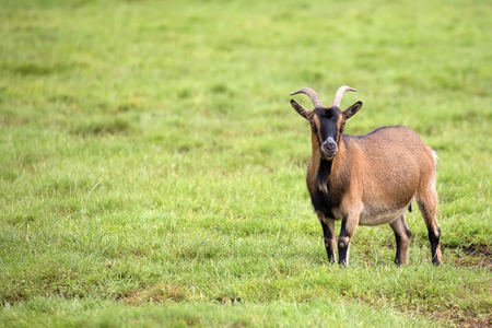 Goat in a clearing