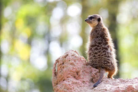 Meerkat in the wild Stock Photo