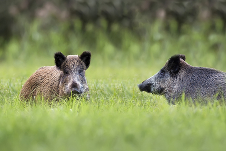 Wilde zwijnen op een open plek, in het wild Stockfoto