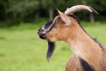 Goat in a clearing, a portrait