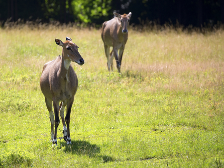 Nilgai in a clearing