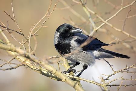 Hooded crow in the wild Zdjęcie Seryjne