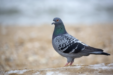 Pigeon in the wild