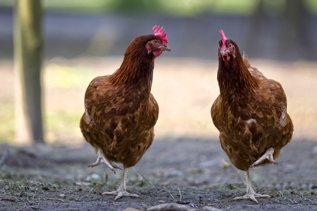 Hens in the meadow