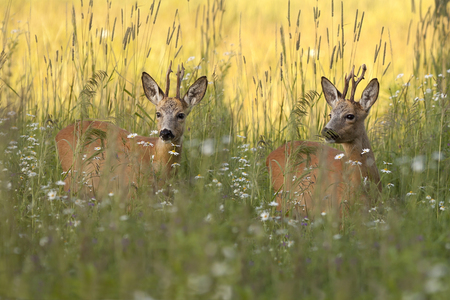 Buck deers in a clearing