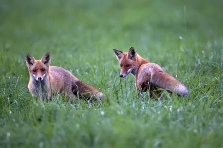Foxes in a clearing Zdjęcie Seryjne