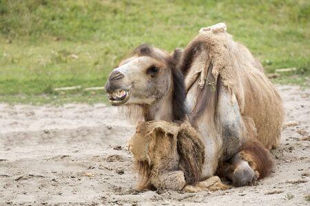 Camel resting in a clearing Zdjęcie Seryjne