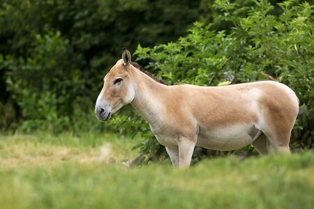 Onager in a clearing