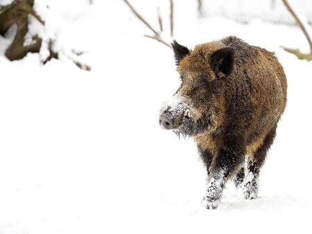 Wild boar in winter