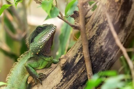 Asian Water Dragon on a tree