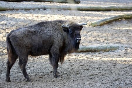 European bison in a clearing