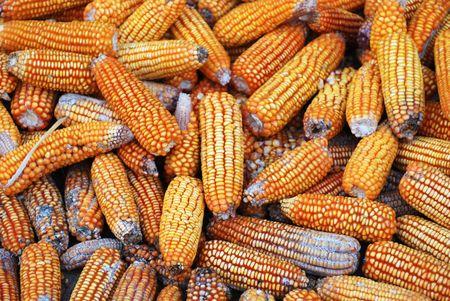 corn yellow: Ma�z amarillo