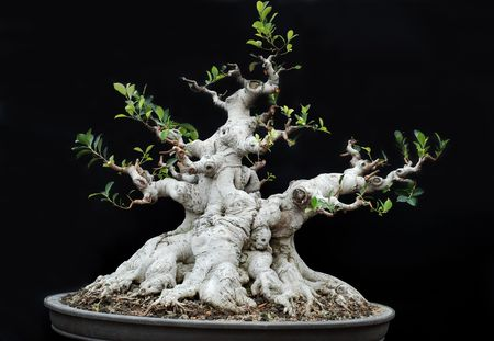 japanese maple: Bonsai Stock Photo